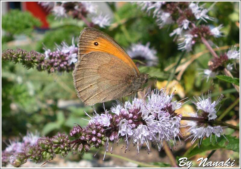 Sommerfugl macro2